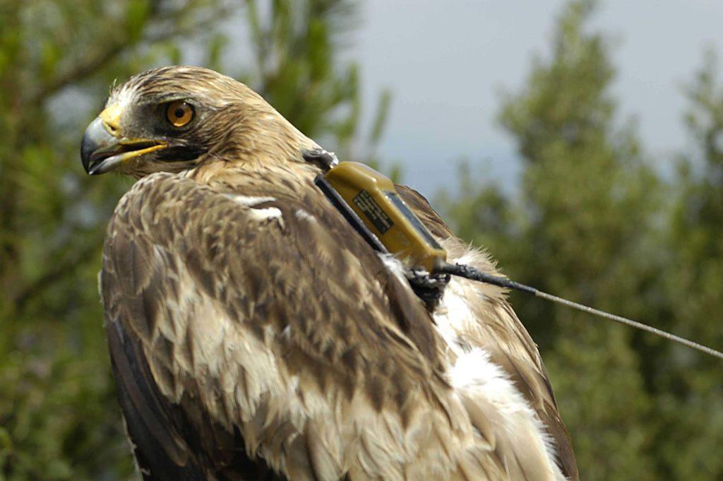 Hembra adulta anillada y equipada con emisor satélite GPS solar en Sant Mateu de Bages (Barcelona) el 08/07/2012 dentro del Prorama MIgra de SEO/Birdlife.